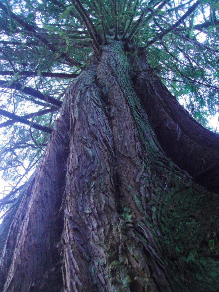 shinglemill cedar